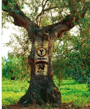 olivo centenario ybarra